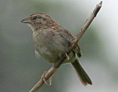 Problém je i s názvem Bachmanův vrabec. Reverend, podle kterého pták získal jméno, totiž podporoval otroctví. Část amerických ornitologů se proto nyní snaží o přejmenování opeřence.