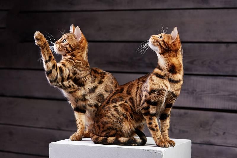Kočka může na výstavu poprvé ve věku čtyř měsíců. Naučit ji na ni bohužel nejde, buď to zvládne, anebo ne.