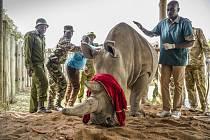 Samice nosorožce severního bílého Fatu v rezervaci Ol Pejeta v Keni na snímku z 22. srpna 2019