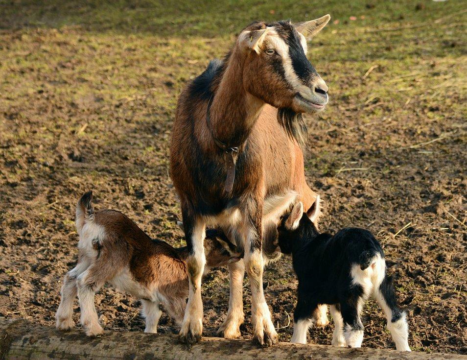 Koza s kůzlaty na ekofarmě.