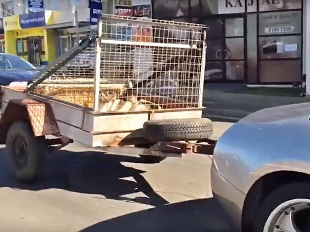 Vozík s kozami lze zapřáhnout i za italský supersport.