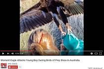 Na show volně žijících zvířat v Austrálii zaútočil orel na hocha.