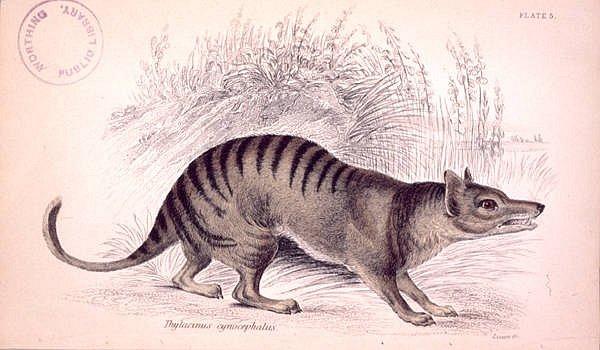 Umělecké znázornění vakovlka tasmánského (Thylacinus cynocephalus) v The naturalist's library z přelomu 18. a 19. století