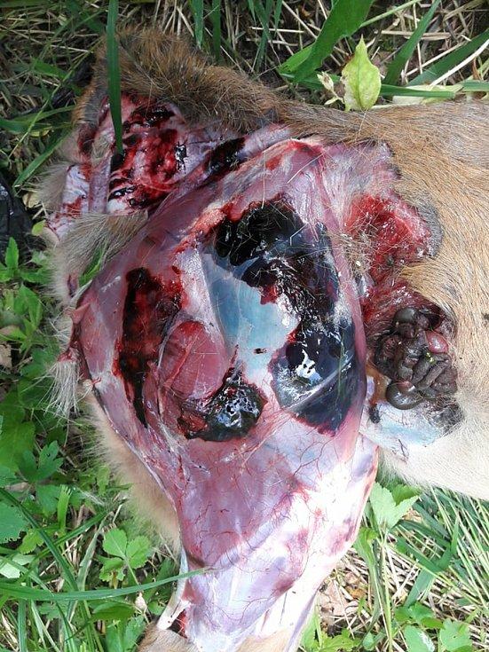 Srnčí po útoku psů. Maso je samá podlitina. Psi v jednotlivcích srnu uženou, pak pojde na zápal plic. Ve více kusech ji jako ve smečce nahání a pak ji roztrhají.
