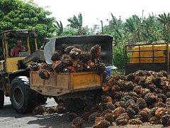 Výroba palmového oleje. Ilustrační foto