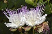 Květy kapary trnité
