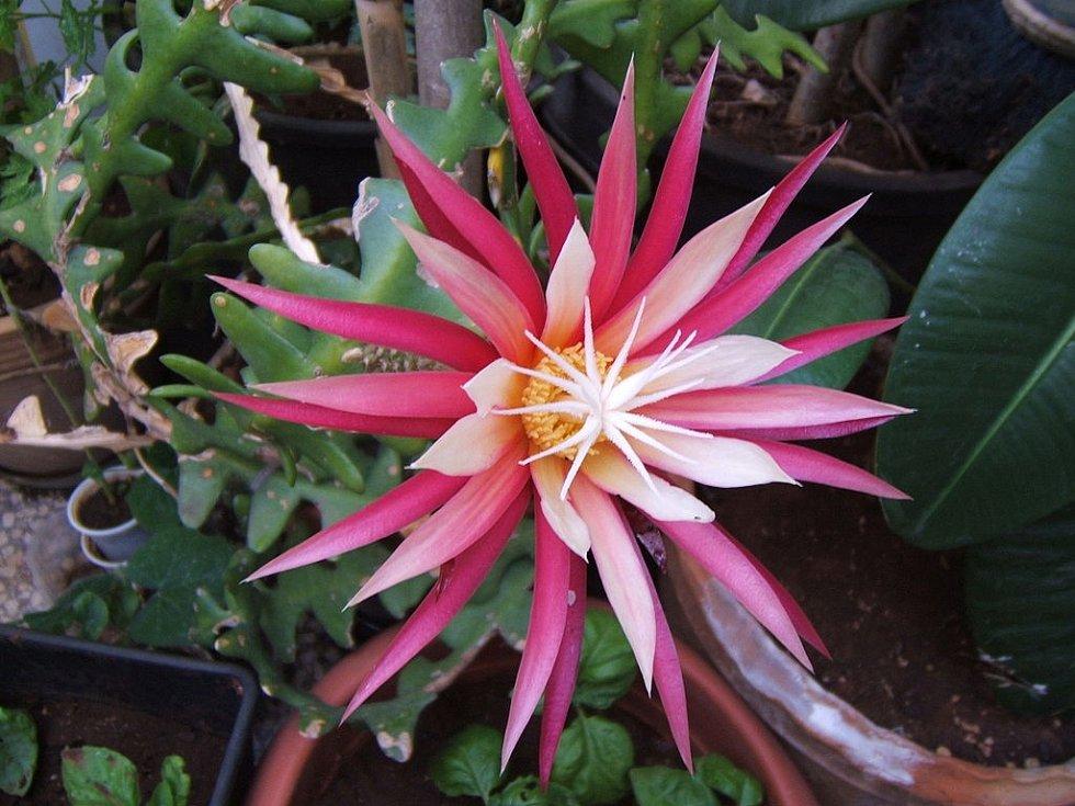 """Kaktusům Selenicereus se někdy přezdívá """"kaktusy svitu Luny"""" kvůli tomu, že kvetou jen v noci za svitu Měsíce. Na snímku Selenicereus anthonyanus v květu, jenž se rodí každý rok znovu a žije jen jeden den"""