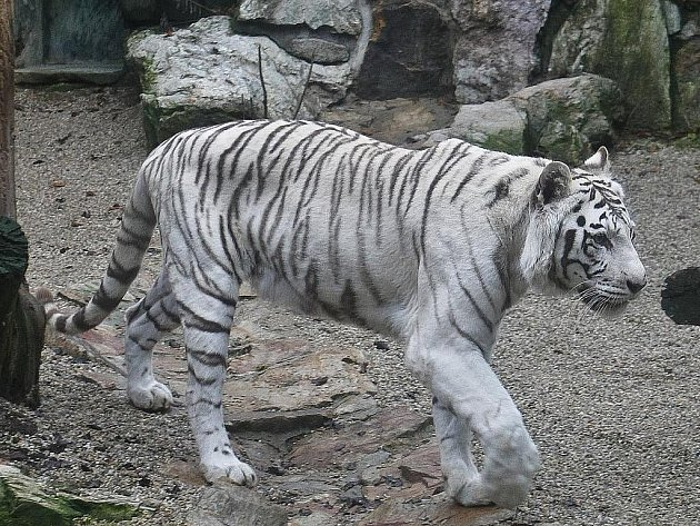 Chlouba Liberce, bílí tygři, už jsou jen tři. Zakladatelku chovu, sedmnáctiletou tygřici Isabellu, ve čtvrtek ráno smrtelně zranili dva lvi.