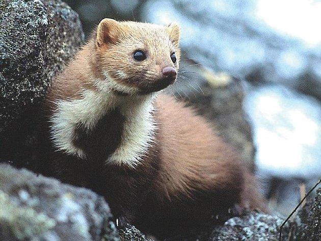 Kuna skalní patří v ČR k ohroženým druhům.
