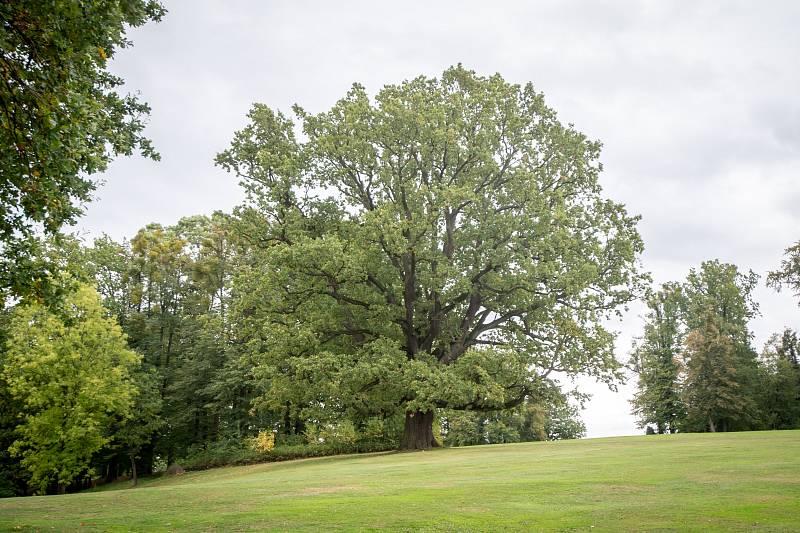 Jeden z vzácných dubů v šilheřovickém parku má 460 let a získal 2. místo v soutěži Strom roku 2015