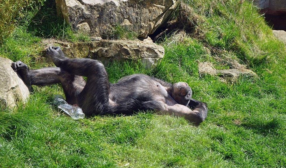Z analýzy rovněž vyplynula trvanlivost pozorovaného chování. Sledování probíhalo dvanáct let, během něho mnoho šimpanzů zemřelo, skupiny opustilo, narodili se noví členové, přesto styl pozdravu vydržel.