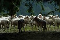 Vlčí smečka na lovu ovcí