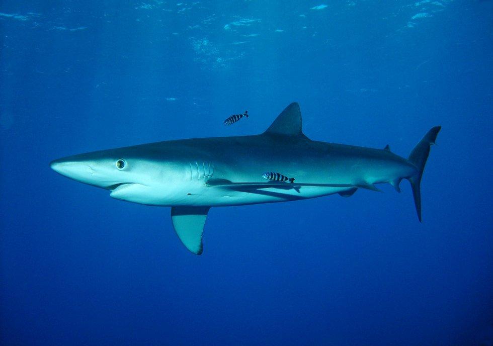 Žralok modrý. Ilustrační foto