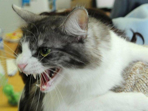Kočka na výstavě - ilustrační foto