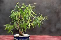 Eukalyptus pomáhá při potížích s dýcháním.