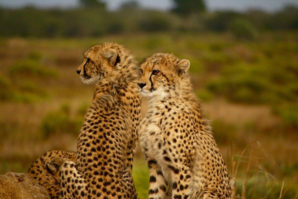 Gepardům pomáhá splynout s okolím při lovu jejich zbarvení.