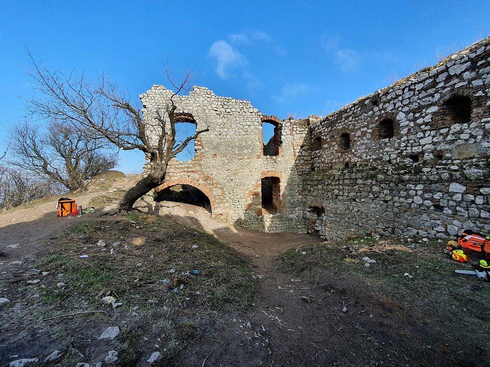 Pálavské Děvičky na Břeclavsku mají za sebou prořez a kácení náletových dřevin. Podle zástupců spolku Památky Pálavy mohutné kořeny poškozují zdivo hradeb