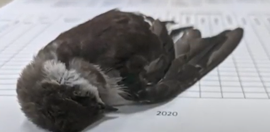 V Novém Mexiku dochází k záhadnému úhynu velkého množství ptáků