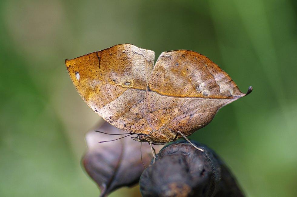 Motýl může vypadat i jako suchý list.