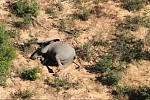 Hromadný úhyn slonů vyvolala podle vědců otrava sinicemi, které zamořily vodní plochy
