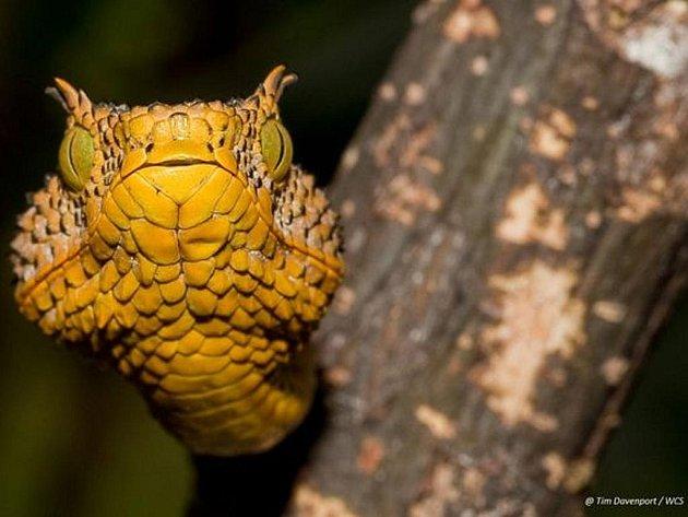 Plaz s hrozivě vyhlížejícími žlutými a černými pruhy, zelenýma očima a špičatými rohy je pojmenován po sedmileté dívce Matildina rohatá zmije.