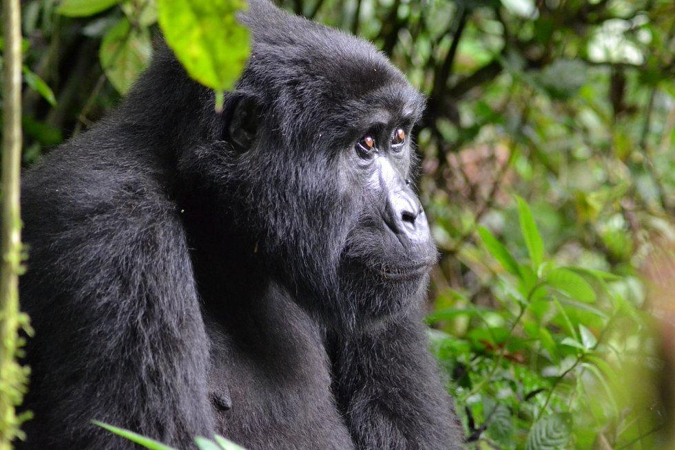 Gorila horská je kriticky ohrožená.