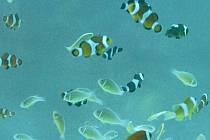 Vlivem změn klimatu se prý v oceánech zmenšují ryby - ilustrační foto
