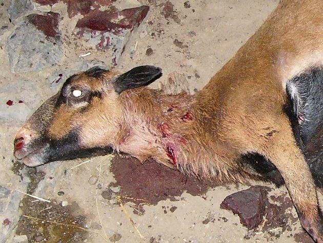 Jedna ze třinácti potrhaných koz v pražské ZOO