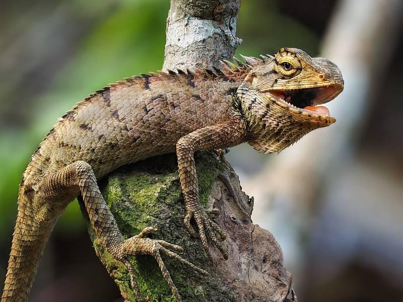 I přes svůj zjev pohádkového dráčka leguán spíše odpovídá draku zabijákovi z fantasy filmů.