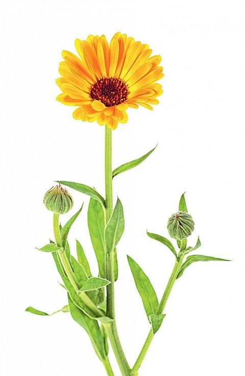 Květy měsíčku si umí poradit i s hodně suchou a narušenou kůží.