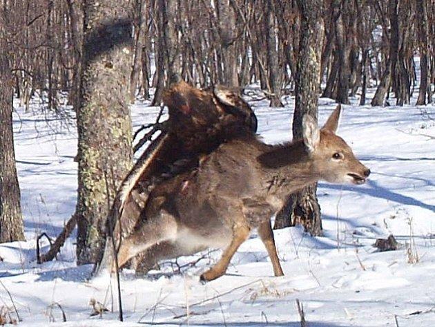 Speciální fotoaparáty na ruské Sibiři zaznamenaly útok orla na mladého jelena.