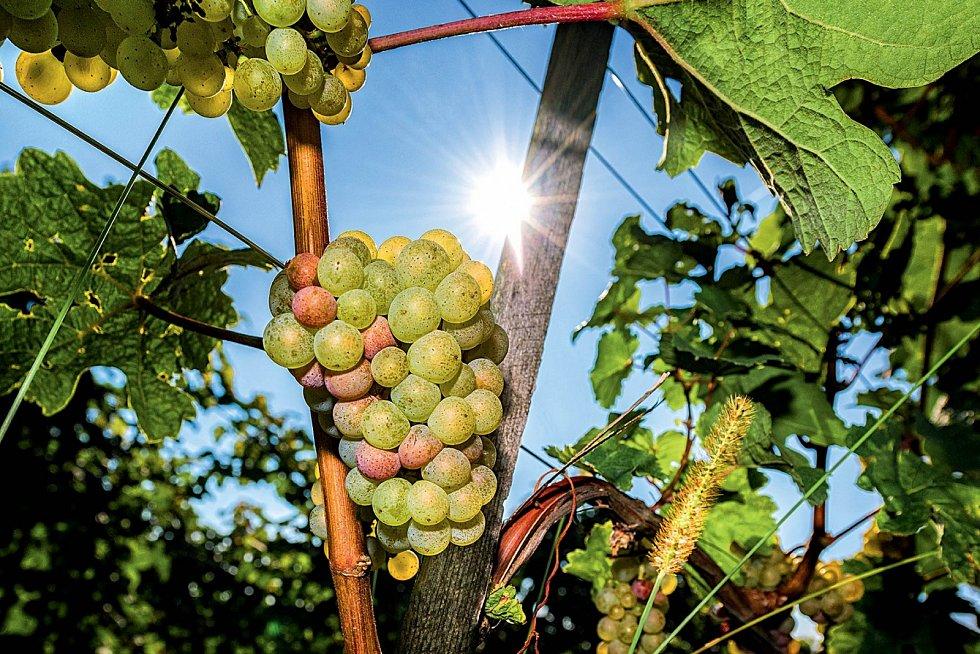 Typickou odrůdou bílého je veSlovinsku malvazija.