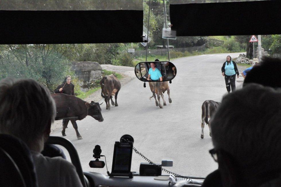 Všudypřítomné krávy