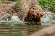 Medvěd kamčatský v brněnské zoologocké zahradě. Snímek je z 16. dubna.