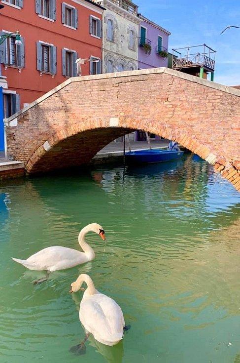 """Výskyt labutí bohužel s údajným """"ozdravěním"""" benátské laguny kvůli koronavirové nákaze nijak nesouvisí"""