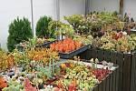 Mezi kaktusáři apěstiteli sukulentů panuje sice určitá rivalita, ale každý kaktusář nějaký sukulent má. Je po nich totiž větší poptávka.