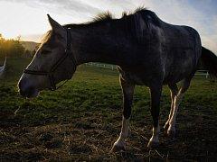 Šumavský národní park nechce nadále chovat vlastní chladnokrevné koně. Ilustrační foto.