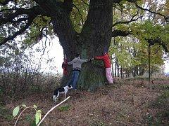 Měchnovský dub patří mezi kandidáty na titul Strom roku.