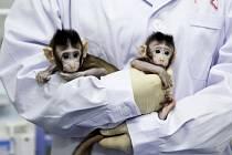 Dva totožní makakové Čung Čung a Chua Chua, kteří jsou nyní krmeni z lahví a normálně rostou.