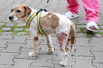 Veterinářka Markéta Janoušková ošetřuje čtyřletého týraného Jack Rusell teriéra na veterinární klinice v Kleisslově ulici na Roudné.