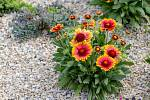 Kokarda - půvabná suchomilná kytička
