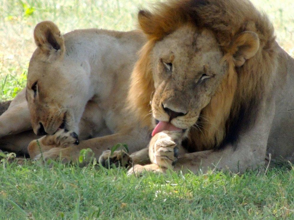 Vědci pozorovaly při výzkumu zívání devatenáct lvů v jižní Africe.