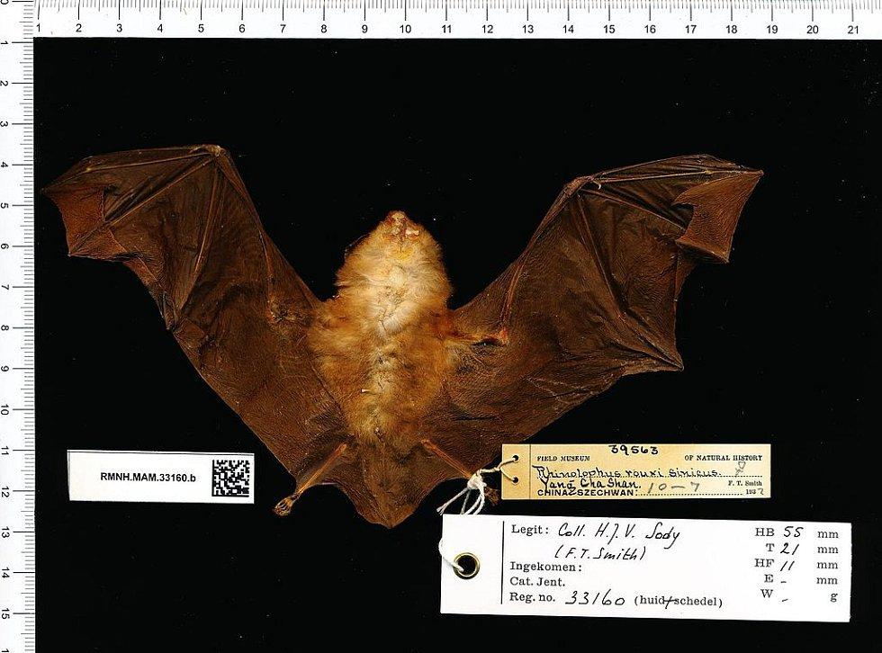 Čínský netopýr Rhinolophus sinicus, žijící v oblasti Wu-chanu. Také možný přenašeč koronaviru