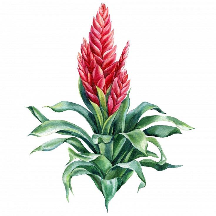 Čeleď broméliovitých má přes tři tisíce druhů. Květiny dostaly název po švédském botanikovi Olofu Bromeliovi.