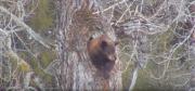 Medvěd černý vylézá z brlohu.