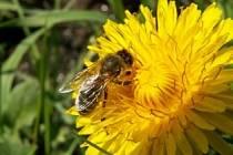 VČELA - ZÁKLAD ŽIVOTA