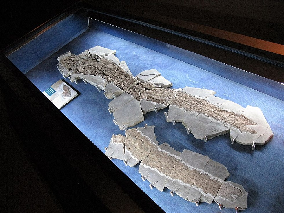Fosilie pravěké ryby Elpistostege watsoni v muzeu kanadského Národního parku Miguasha