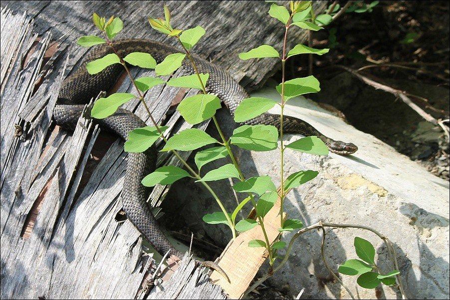 Uzavřená zóna v Černobylu je rájem hadů