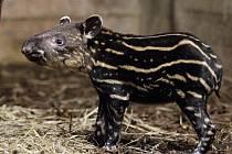 Malý tapír je teprve druhým přírůstkem svého druhu v historii Zoo Praha.