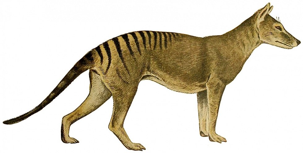 Umělecká rekonstrukce vakovlka tasmánského (Thylacinus cynocephalus) z roku 1919